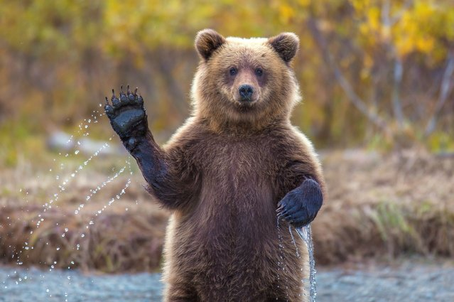 This friendly bear cub raised a furry paw to wave at surprised animal lovers. (Photo by Kevin Dietrich/Solent News & Photo Agency)