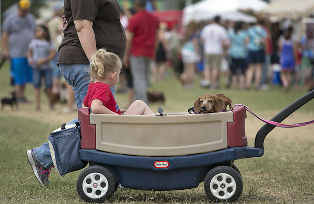 These dogs get first class treatment as they dose off while parading the fair grounds. The 18th Annual Buda County Fair and Weiner Dog Races was held at city park in Buda Sunday April 26, 2015 sponsored by the Lions Club. (Photo by Ralph Barrera/Austin American-Statesman)
