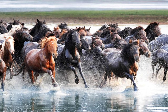 Horses wading into a river in Xilingol of north Chinas Inner Mongolia Autonomous Region. (Photo by Caters News)