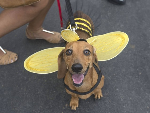 "A dog dressed like of a bee is seen during the ""Blocao"" dog carnival in Rio de Janeiro. (Photo by Silvia Izquierdo/AP Photo)"