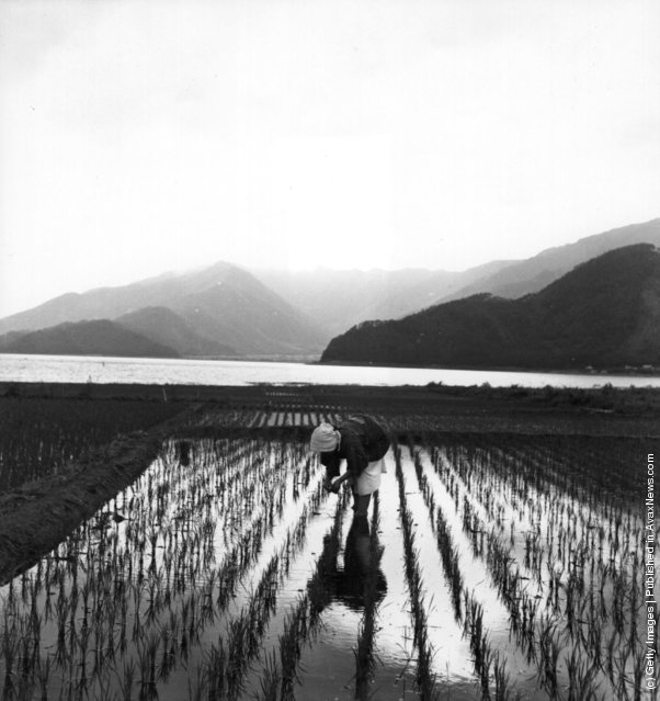 1950: A Japanese woman removing weeds from a rice field