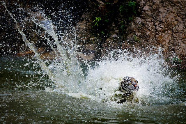 """A picture made available 26 April 2016 shows a tiger playing in the water at the Tiger Temple in Kanchanaburi province, Thailand, 24 April 2016. The site known in Thai as """"Wat Pa Luangta Maha Bua Yannasampanno"""" has been the focus of a dispute with the Department of National Parks, Wildlife and Plant Conservation (DNP) after the DNP asked in 2015 that the temple hands over its 147 tigers since it was not licensed to keep them. The temple has requested for a zoo license according to its managing director. (Photo by Diego Azubel/EPA)"""