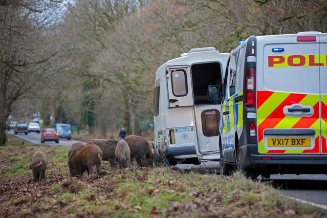 A herd of wild boar alongside traffic in the Forest of Dean. Six animal rights groups have strongly criticised plans by the National Trust to cull wild boar on one of its most renowned estates. (Photo by Brian McGeough/Alamy Stock Photo)