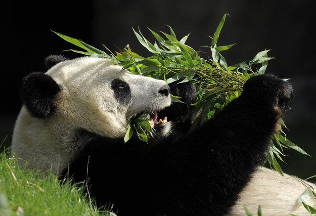 Giant panda Hao Hao eats bamboo leaves in its pen at Pairi Daiza animal park in Brugelette on April 15, 2014. (Photo by John Thys/AFP Photo)