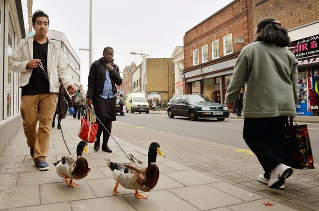Marwan Elboury takes his three year old pet Rouen French ducks, Donald and Daffy for a walk along Rye Lane in south London on April 25, 2014. Marwin, 20, works at The Garden Centre Aquatics in Peckham, London. (Photo by John Stillwell/PA Wire)