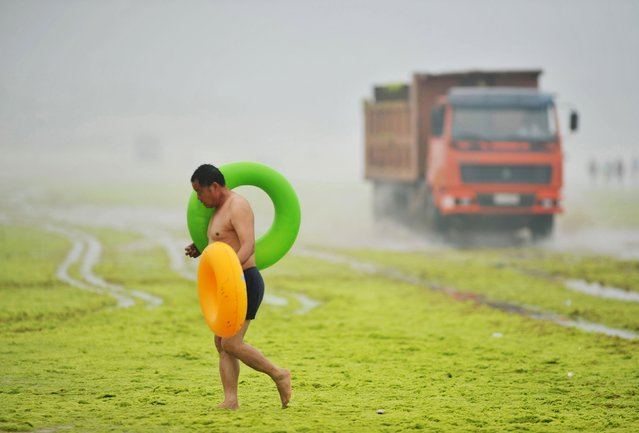 A man carries floats as he walks on an algae covered beach as a truck collecting algae passes by, along the coastline in Qingdao, Shandong province, July 6, 2015. (Photo by Reuters/China Daily)