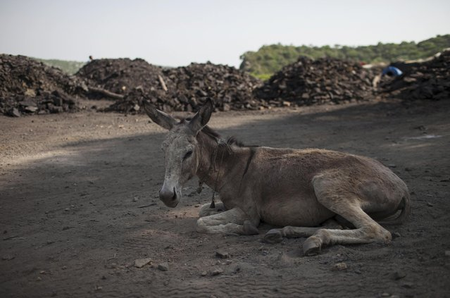 A donkey sits on the ground on a hot day after transporting coal at a mine in Choa Saidan Shah in Punjab province May 5, 2014. (Photo by Sara Farid/Reuters)
