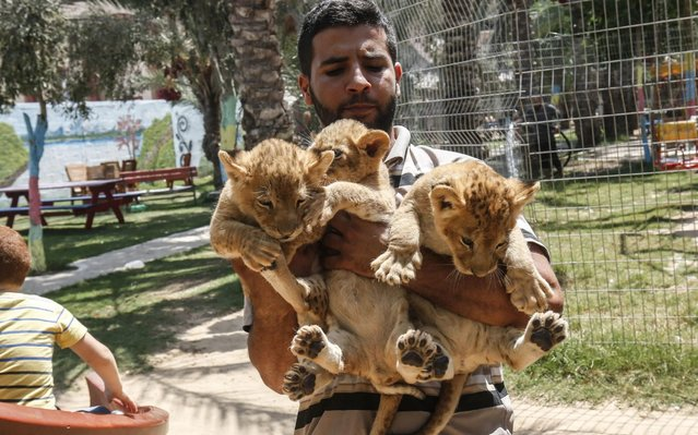 A Palestinian employee lifts three recently born cubs at a zoo in Rafah in the southern Gaza Strip on September 8, 2019. The Rafah Zoo in the southern Gaza Strip was known for its emaciated animals, with the owners saying they struggled to find enough money to feed them. In April, international animal rights charity Four Paws took all the animals to sanctuaries, receiving a pledge the zoo would close forever. But last month it reopened with two lions and three new cubs, penned in cages only a few square metres in size. (Photo by Said Khatib/AFP Photo)