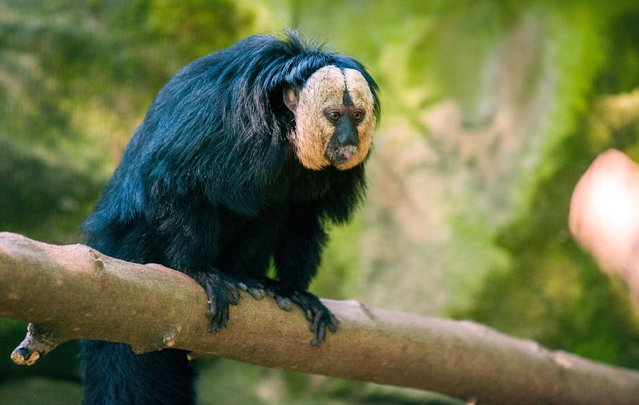 A white-faced saki is pictured in its enclosure at the Tierpark zoo in Berlin on May 20, 2014. In the wild, the animals are native to parts of South America. (Photo by Hauke-Christian Dittrich/AFP Photo/DPA)