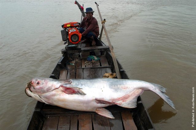 Among the fish populations that could be harmed by the Xayaburi dam in Laos is the critically endangered Mekong giant catfish, considered by the Guinness Book of World Records to be the world's largest freshwater fish. The fish, which grows to 650 pounds and about 10 feet long, is only found in the Mekong River. It is migratory, moving between downstream habitats in Cambodia upstream to northern Thailand and Laos each year to spawn. Some experts fear the Xayaburi dam could block the migration and drive the giant catfish to extinction