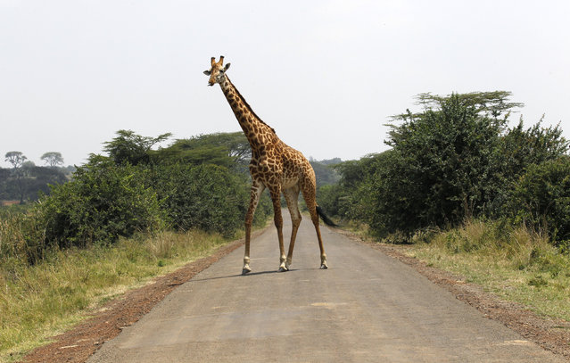 A giraffe walks across a paved road at the Nairobi National Park in Kenya's capital Nairobi, September 19, 2014. (Photo by Thomas Mukoya/Reuters)