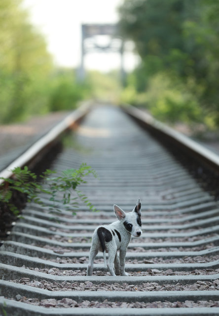A stray puppy walks along abandoned train tracks near the Chernobyl nuclear power plant on August 19, 2017 near Chornobyl, Ukraine. (Photo by Sean Gallup/Getty Images)