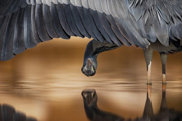 Grey heron, Ahmad Alessa, Kuwait. Silver award winner in the attention to detail category. Gray heron (Ardea cinerea) in Hungary. (Photo by Ahmad Al-essa/2017 Bird Photographer of the Year Awards)