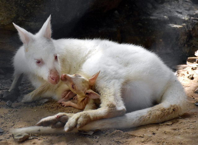 A Khon Kaen Zoo handout photo made available on 28 August 2015 shows a male baby, as yet unnamed, white albino wallaby sitting inside his mother's pouch at Khon Kaen Zoo, Khon Kaen province, Thailand, 17 August 2015. Wallabies are a small sized member of the same taxonomic family as kangaroos and are native in Australia, New Guinea and nearby islands. (Photo by Khon Kaen Zoo/EPA)