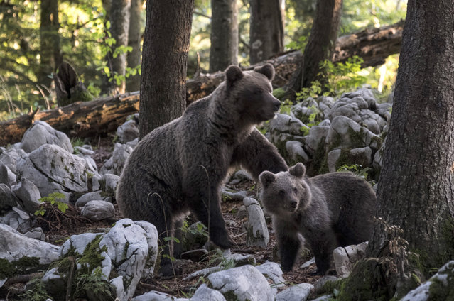 A brown bear with cub forages on September 14, 2017 in Ljubljana, Slovenia. Over 400 Dinaric Brown bears live in the forests of the Notranjska and Kocevska, only 30km from the 280,000 people who inhabit the Slovenian capital city Ljubljana. This breed of bear has been used to repopulate areas of Italy and Spain after they became extinct and whilst Italy has recently experienced bear attacks, in Slovenia they are rare. (Photo by Marco Secchi/Getty Images)
