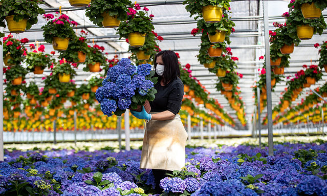 A woman wearing a protective mask holds a hydrangea at a greenhouse of the Saracino garden centre in Aprilia, Italy, 05 April 2020. Countries around the world are taking increased measures to stem the widespread of the SARS-CoV-2 coronavirus which causes the Covid-19 disease. (Photo by Massimo Percossi/EPA/EFE)
