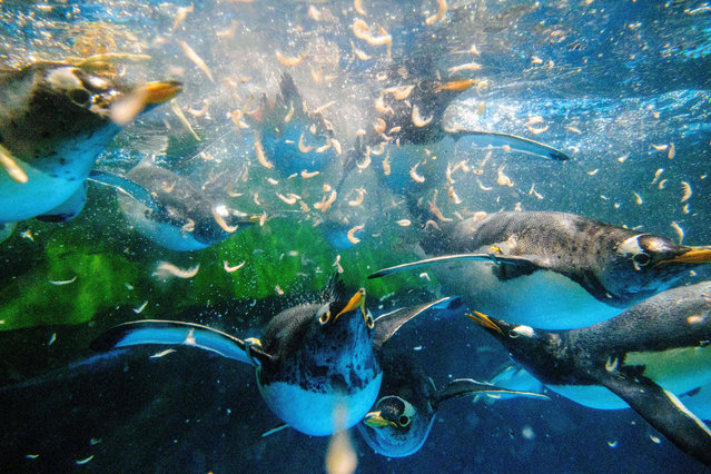 This picture taken on May 4, 2020 shows gentoo penguins chasing krill during feeding time in their enclosure at the Ocean Park theme park, which is currently closed due to the COVID-19 novel coronavirus, in Hong Kong. Save for an absence of gawping crowds, life for the penguins of Hong Kong's Ocean Park has been much the same during the coronavirus pandemic – but their carers have worked long shifts to keep the monochrome troupe healthy. (Photo by Anthony Wallace/AFP Photo)