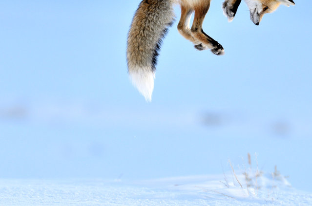 Commended. Photographer Richard Peters sat in his car and from a distance watched the fox hunting, just enjoying the performance. He was in Yellowstone National Park, in Wyoming, and there was snow on the ground. The fox was listening for rodents under the snow, then leaping high to pounce down on the unsuspecting prey. (Photo by Richard Peters/Veolia Environnement Wildlife Photographer)