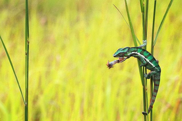 Chameleon lunch by Shikhei Goh