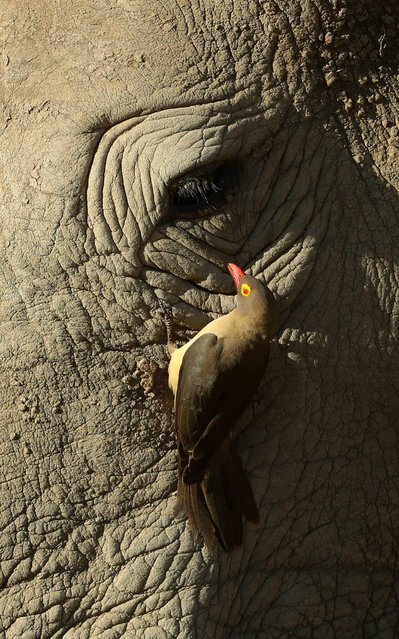 A Red-billed Oxpecker cleans a White Rhino in the Pilanesberg National Park before the third round of the Nedbank Golf Challenge at Gary Player CC on November 11, 2017 in Sun City, South Africa. (Photo by Richard Heathcote/Getty Images)