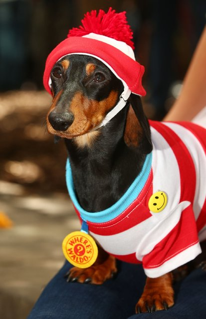 Mini dachshund Mia, dressed as Where's Waldo? competes in the Hophaus Southgate Inaugural Best Dressed Dachshund competition on September 19, 2015 in Melbourne, Australia. (Photo by Scott Barbour/Getty Images)