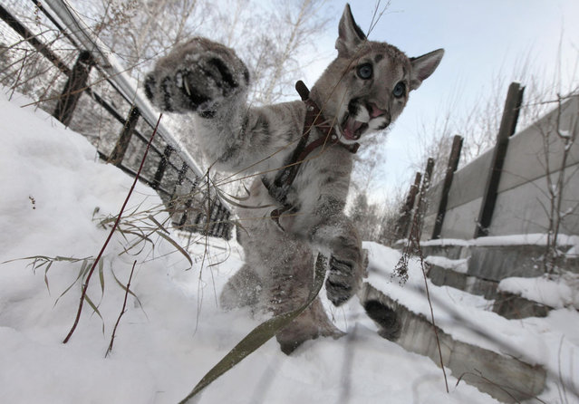 Ice, a 5-month-old North American Puma female cub, plays in the snow at the Royev Ruchey Zoo in a surburb of Russia's Siberian city of Krasnoyarsk November 20, 2012. (Photo by Ilya Naymushin/Reuters)