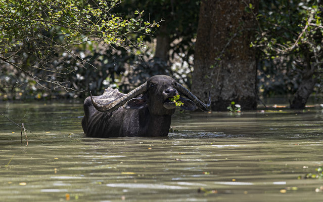 A wild water buffalo eats tree branches standing in flood water at the Pobitora wildlife sanctuary in Pobitora, Morigaon district, Assam, India, Thursday, July 16, 2020. (Photo by Anupam Nath/AP Photo)