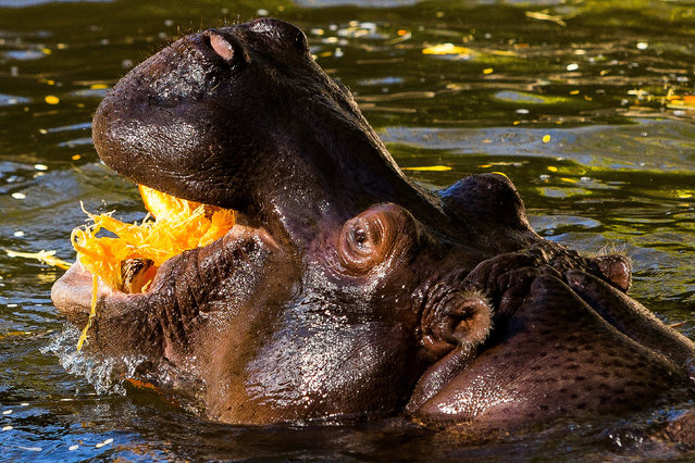 Hippos devour Halloween-festive offerings during Woodland Park Zoo's annual Pumpkin Bash Thursday, October 16, 2014, at Woodland Park Zoo in Seattle, Washington. (Photo by Jordan Stead/AP Photo)