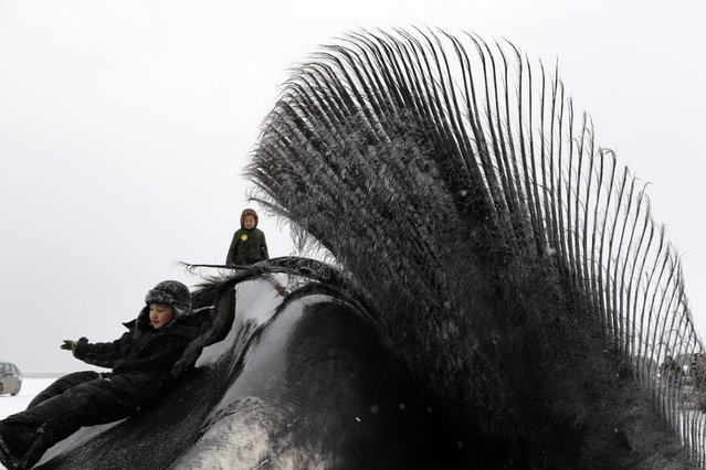 In this October 7, 2014, photo, a boy holds on to the baleen of a bowhead whale before work begins to butcher the whale near Barrow, Alaska. A chilly celebration takes place on the frozen fields as a whale is brought ashore. The hours-long process of butchering the whale brings the town together for the event. (Photo by Gregory Bull/AP Photo)