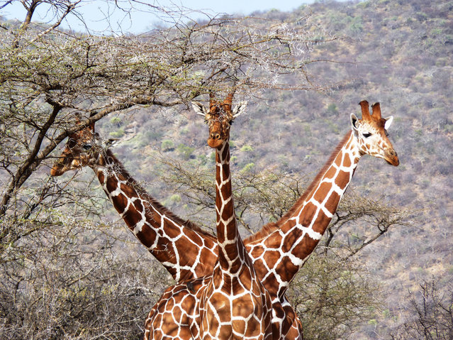 Giraffe 'with three heads'. (Photo by Tony Murtagh/Comedy Wildlife Photography Awards/Mercury Press)