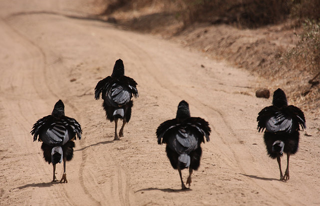 Four birds walking down the road like they own it pictured by Derek Auerman for the Comedy Wildlife Photo Awards 2016, Tanzania, October, 2010. (Photo by Derek Auerman/Barcroft Images/Comedy Wildlife Photo Awards)
