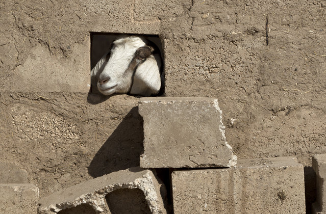 A goat looks through a hole in the wall in the village of Caykara, Turkey, on the Turkey-Syria border, just across from Kobani, Tuesday November 11, 2014. Kobani, also known as Ayn Arab, and its surrounding areas, has been under assault by extremists of the Islamic State group since mid-September and is being defended by Kurdish fighters. (Photo by Vadim Ghirda/AP Photo)