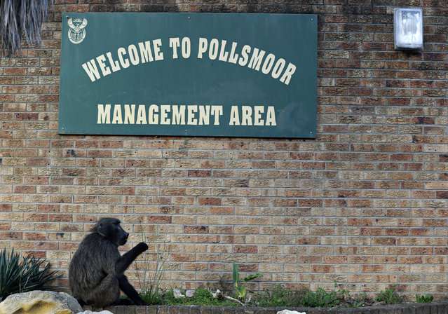 A baboon, named Kataza by locals, sits outside the Pollsmoor Maximum Security Prison in Tokai, Cape Town, South Africa, Thursday, September 17, 2020. Kataza was relocated from Kommetjie, on the edges of Cape Town, to a nearby area late last month after city authorities claimed he was responsible for leading other baboons in his troop on raids through the village. One activist says Kataza is now wandering alone in an unfamiliar area and sleeping in a prison yard. (Photo by Nardus Engelbrecht/AP Photo)