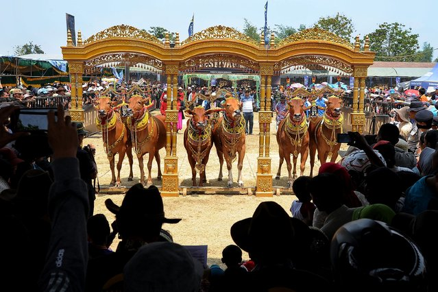 Contestants perform during the Sapi Sonok Contest at R. Soenarto Hadiwidjojo stadium on October 25, 2015 in Madura, Indonesia. The Sapi Sonok or female cow beauty contest is a Madura tradition, where the assessment is of each cow is based on beauty of its decoration, cleanliness, and the harmony of its walk in front of the jury. (Photo by Robertus Pudyanto/Getty Images)