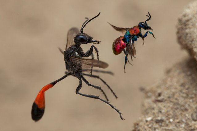 Winner – Behaviour, Invertebrates: A tale of two wasps by Frank Deschandol, France. This remarkable simultaneous framing of a red-banded sand wasp (left) and a cuckoo wasp, about to enter next-door nest holes in Normandy, France. Though these two species don't regularly interact, Deschandol was gifted a perfectly balanced composition by the insects' fortuitous flight paths to their nest holes. (Photo by Frank Deschandol/Wildlife Photographer of the Year 2020)