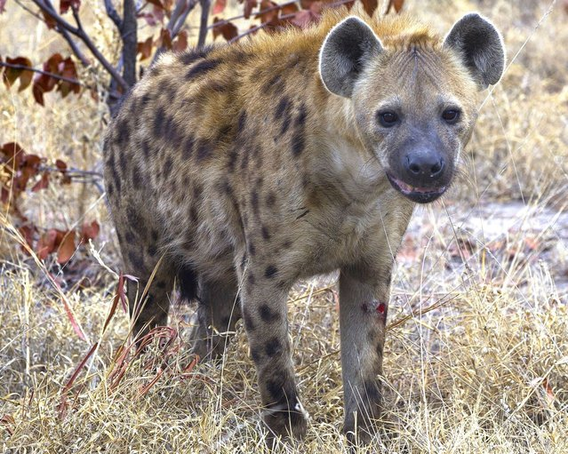 One of the downtrodden hyenas after failing to get the elephant calf. (Photo by Jayesh Mehta/Caters News)