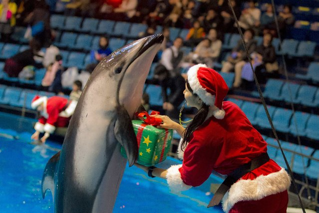 A dolphin returns a parcel to its trainer during a special Christmas show at the Shinagawa Aqua Stadium in Tokyo December 23, 2014. (Photo by Thomas Peter/Reuters)