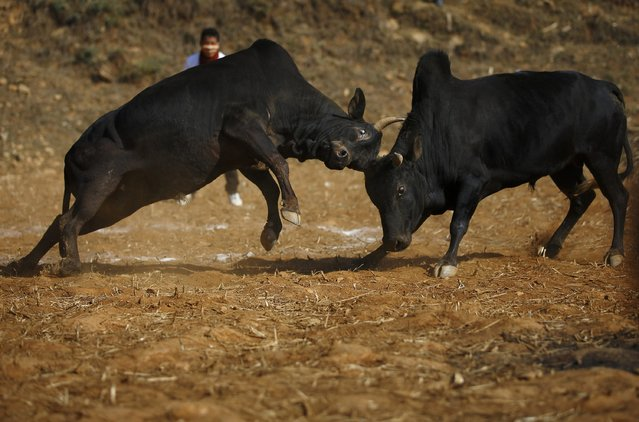 Bulls fight during the Maghesangranti festival at Talukachandani village in Nuwakot district near Kathmandu January 15, 2015. (Photo by Navesh Chitrakar/Reuters)