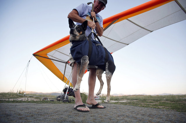 Dan McManus secures the harness for his service dog Shadow before they hang glide together outside Salt Lake City, Utah, July 22, 2013. (Photo by Jim Urquhart/Reuters)