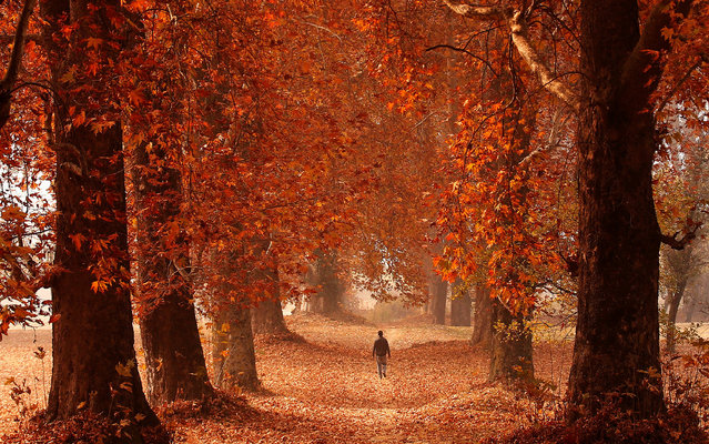 A man walks through a garden on an autumn day in Srinagar, India November 15, 2016. (Photo by Danish Ismail/Reuters)