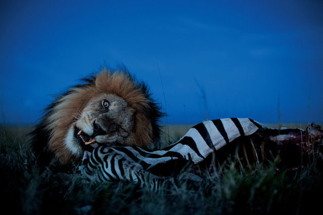 A male often asserts his prerogatives. C-Boy feasts on a zebra while the Vumbi females and cubs wait nearby, warned off by his low growls. Their turn will come. (Photo by Michael Nichols/National Geographic via The Atlantic)