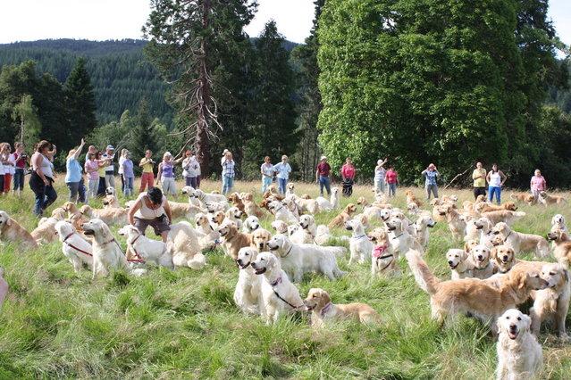 222 Golden Retrievers Frolic In A Field In Scotland