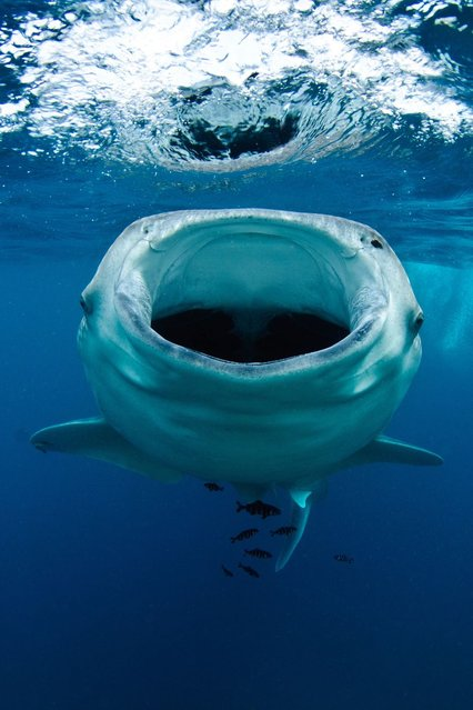 Inside the mouth of the world's biggest fish, the whale shark. (Photo by Pash Baker/HotSpot Media)