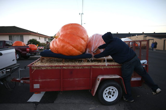 A contestant uncovers giant pumpkins during the 40th Annual Safeway World Championship Pumpkin Weigh-Off on October 14, 2013 in Half Moon Bay, California. Gary Miller of Napa, California won the 40th Annual Safeway World Championship Pumpkin Weigh-Offgigantic pumpkin with a gigantic pumpkin that weighed in at 1,985 pounds. Miller took home a cash prize of $11,910, or $6.00 a pound. (Photo by Justin Sullivan/AFP Photo)