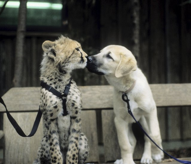 Sarah the cheetah is seen as a young cub with her puppy companion named Alexa in this undated handout photo courtesy of the Cincinnati Zoo in Cincinnati, Ohio. The zoo said on January 21, 2016 that Sarah, designated the world's fastest land mammal by National Geographic magazine in 2012, has died at the age of 15. (Photo by Reuters/Cincinnati Zoo)