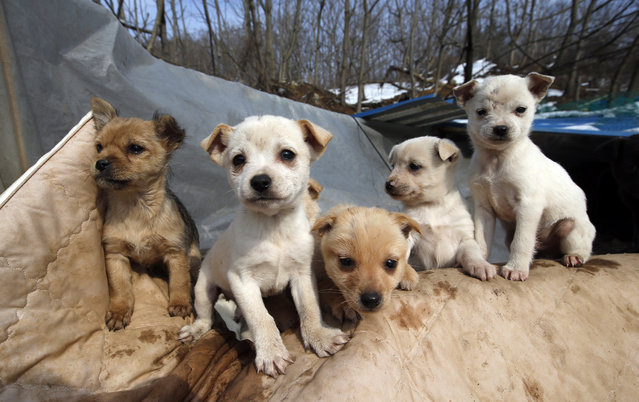 In this Wednesday, January 27, 2016 photo, puppies sit at a shelter owned by Jung Myoung Sook, 61, who rescued and sheltered dogs for 26 years, in Asan, South Korea. (Photo by Lee Jin-man/AP Photo)
