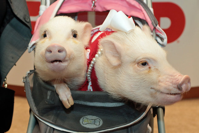 """(L-R) Poppleton """"Pop"""" and Priscilla """"Prissy"""", pigs from Jacksonville Florida hang out in a stroller at the GUND booth during the 2016 New York City Toy Fair, inside the Jacob Javits Center, 34th street and 11th Avenue in New York City on February 14, 2016. The pigs appearance was to celebrate GUND's new plush animal line based on them. The two pigs, respectively 2 and 3 years old live with teacher Melissa Nicholson. (Photo by Andrew Schwartz/Splash News)"""