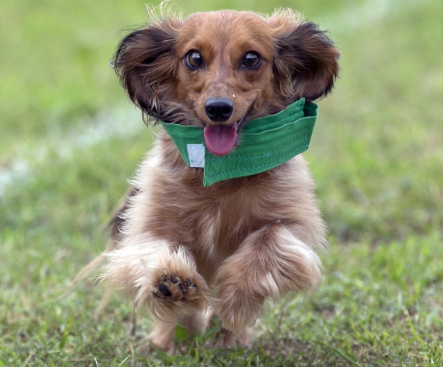 The 18th Annual Buda County Fair and Weiner Dog Races was held at city park in Buda Sunday April 26, 2015 sponsored by the Lions Club. (Photo by Ralph Barrera/Austin American-Statesman)