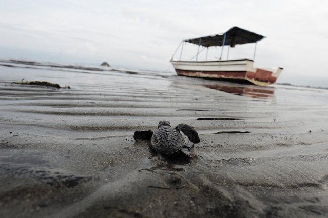 This photograph taken on March 15, 2016 shows a baby turtle heading to the sea after being released at Ujong Pancu beach of Aceh Besar, in Aceh province, as local environmental activists voluntarily bred them to keep the turtle habitat due to egg poaching. (Photo by Chaideer Mahyuddin/AFP Photo)