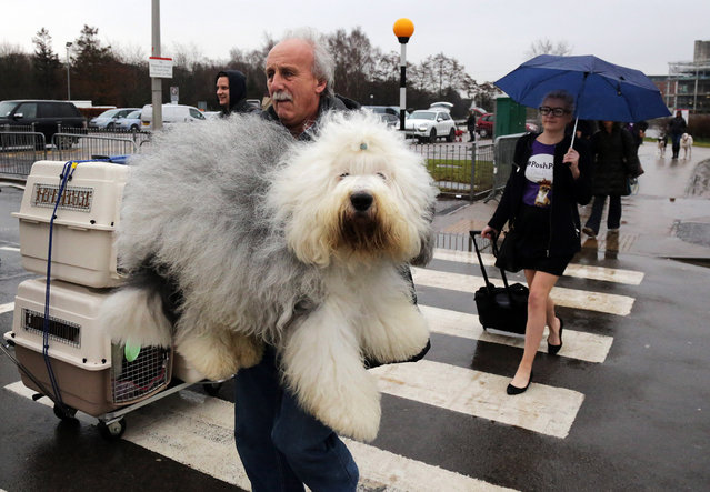 Dogs and their owners arrive to attend the first day of Crufts dog show at the NEC on March 6, 2014 in Birmingham, England. (Photo by Matt Cardy/Getty Images)